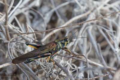 Painted Locust - Galapagos, Ecuador