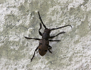 A longhorn beetle (Morimus sp?) from Greece (Vikos Gorge)