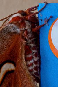Silk Moth side macro