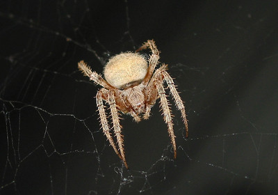 Orb-weaver hunting on the back porch