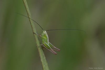 Bicolorana bicolor, larvae