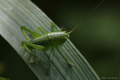 Tettigonia cantans, nymph