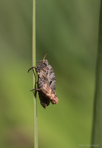 Tetrix bipunctata