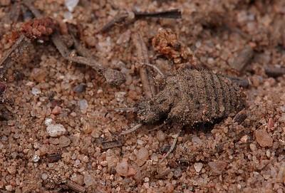 Sipelgalõvi - Ant lion, Euroleon nostras ?