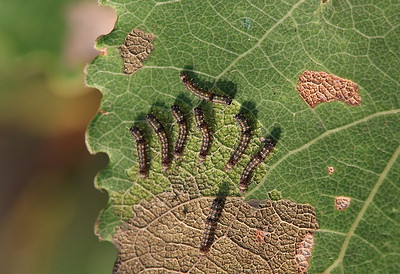 Tillukesed liblikaröövikud haavalehel