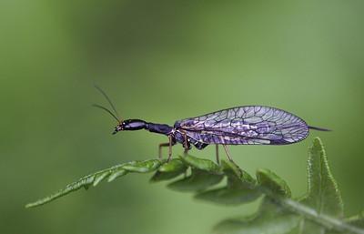 Kaamelkael, Snakefly