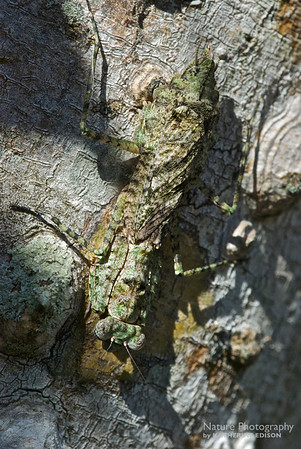 Florida Bark Mantis