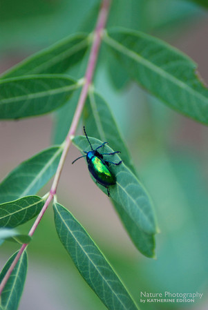 Dogbane with Shiny Beetle