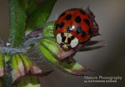 Japanese Ladybeetle
