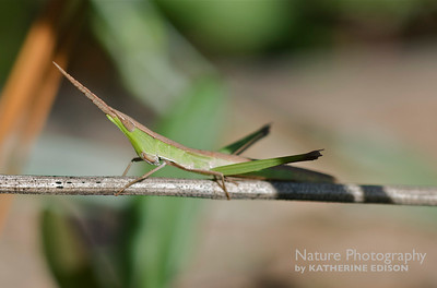 Longheaded Toothpick Grasshopper