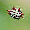 Spinybacked Orb Weaver Spider