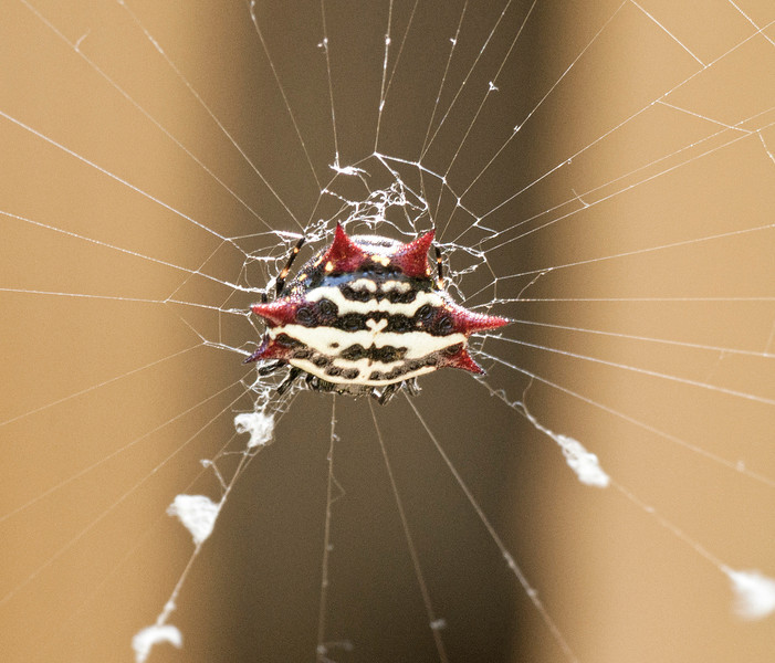 Spinybacked Orb Weave Spider