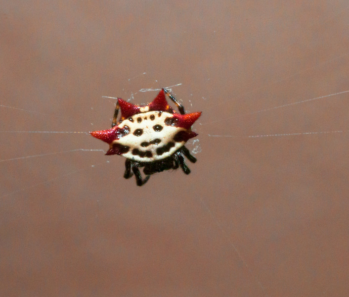 Spinybacked Org Weaver Spider