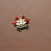 Spinybacked Org Weaver Spider