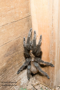 Tarantula inside the blind - Martin Refuge, Mission, TX, USA