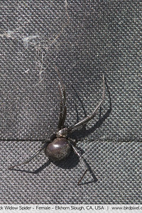 Black Widow Spider - Female - Elkhorn Slough, CA, USA