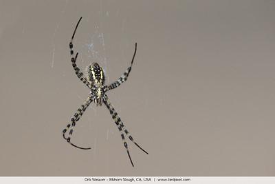 Orb Weaver - Elkhorn Slough, CA, USA