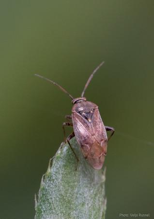 Lygus sp