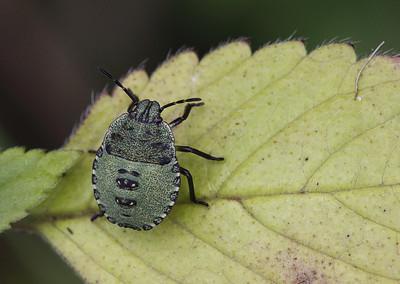 Palomena prasina, nymph