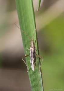 Stenodema sp