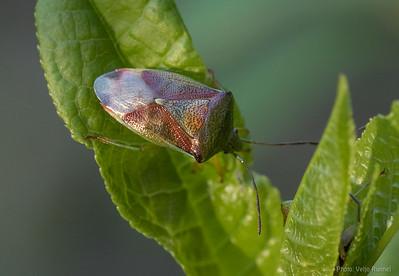 Elasmostethus interstictus