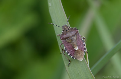 Dolycoris baccarum