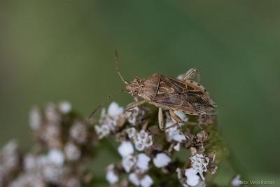Stictopleurus sp.