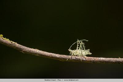 Skeleton Insect - Peru