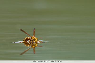 Wasp - Edinburg, TX, USA