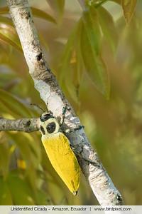 Unidentified Cicada - Amazon, Ecuador