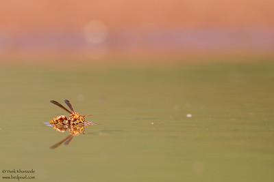 Paper Wasp - Edinburg, TX, USA