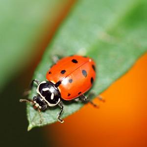 2178 Ladybug on Leaf