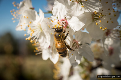 Bee in the blossoms