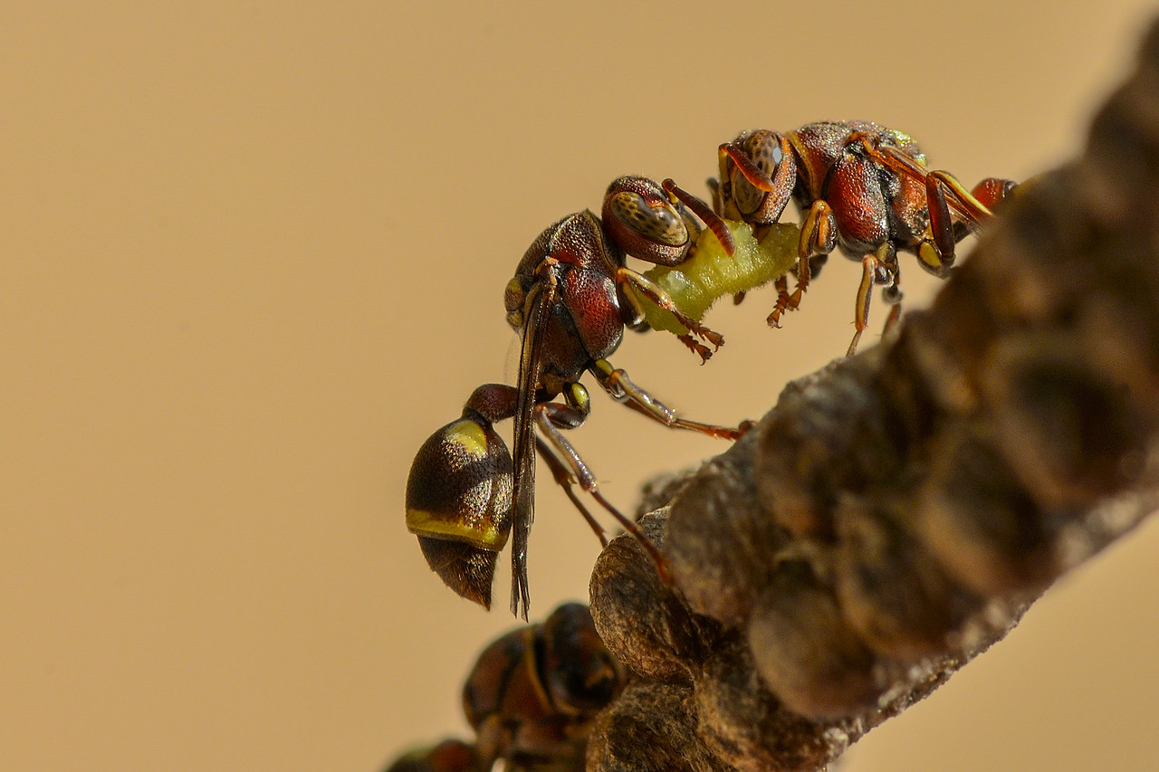 Paper wasps with feed