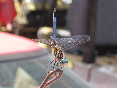A Dragonfly settles