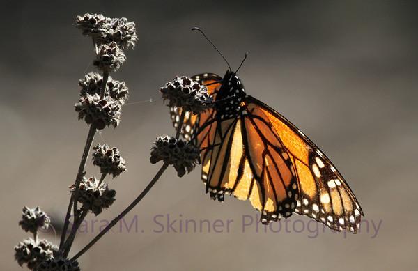 Monarch Cling I