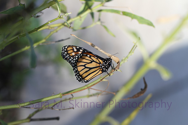 Southern California Monarch VI