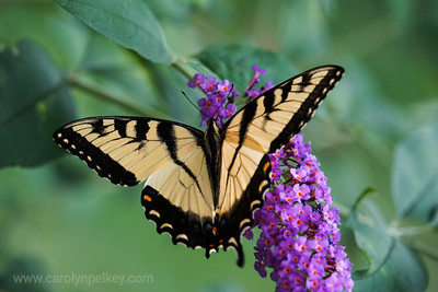 Yellow Monarch on Purple Flower
