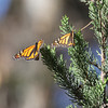 Monarchs in a Native CA Tree III