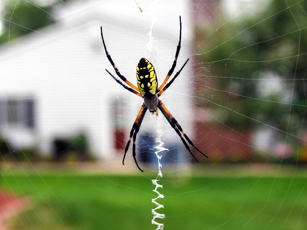 Banana Spider on back deck - August 2005