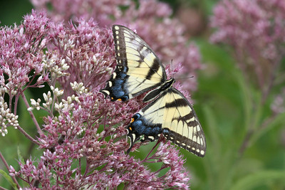 A female Eastern Tiger Swallowtail buutterfly on a pink and white bush