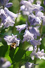 Pollinating the Bluebells2 (Brooklyn Botanical Gardens- Wed 5/5/10)