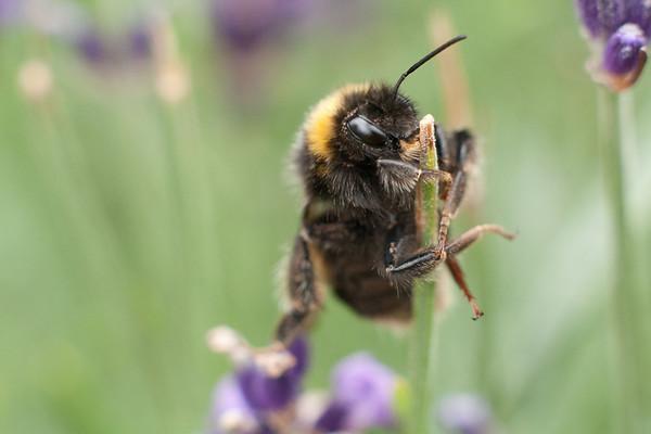 Bumblebee climbing an empty lavender stalk