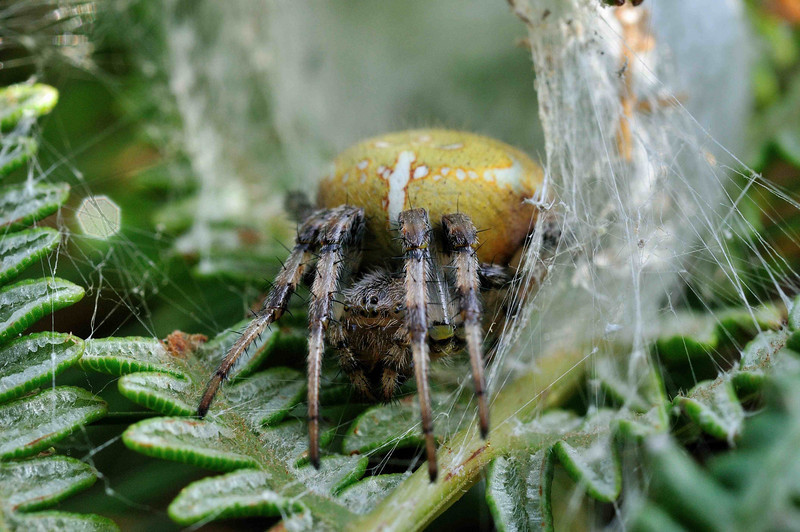 Orb Wed Spider           Araneus diadenatus