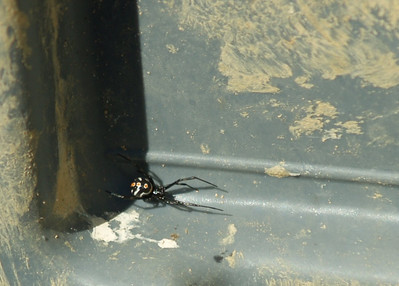 Male Black Widow.  Boris October 2010.