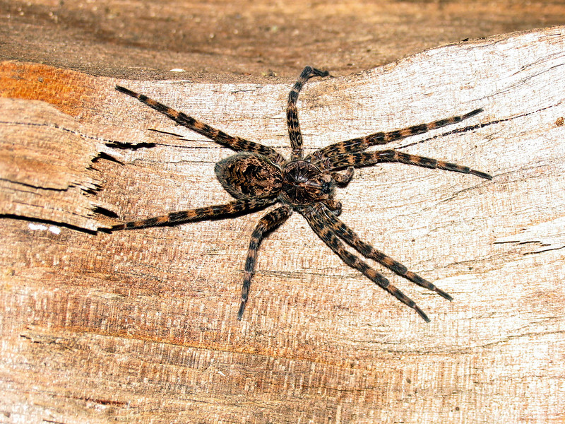Fishing Spider in log pile - October 2005