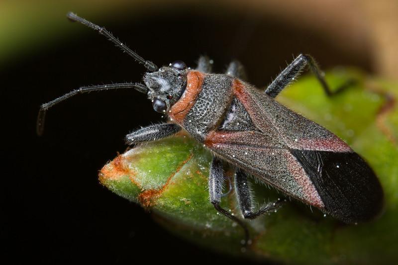 Swan plant seed bug - Arocatus rusticus