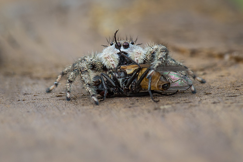 Jumping Spider with fly on my back deck in Grindstone City, MI - July 2014