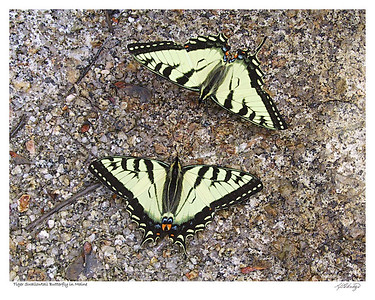 Tiger Swallowtail Butterflies