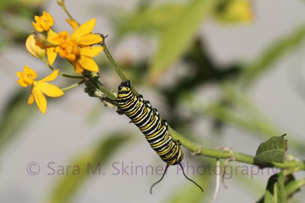 Southern California Monarch V